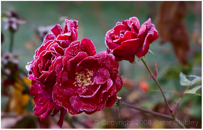 Frosty roses.