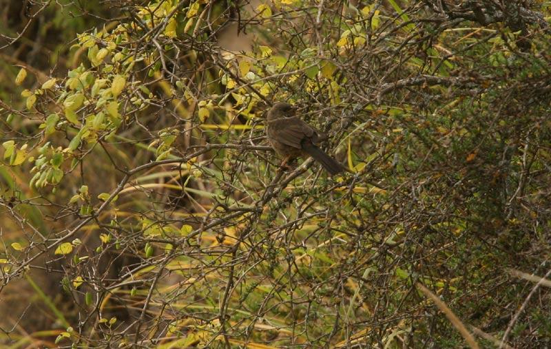 Tucuman Mountain Finch (juvenile)