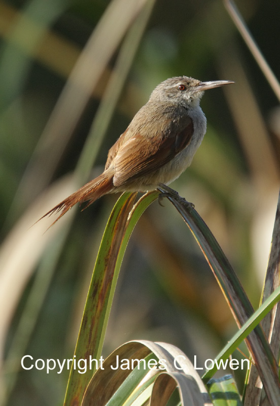 Straight-billed Reedhaunter