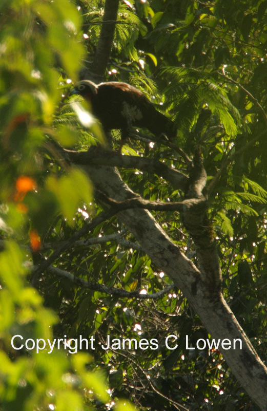 *NEW* Black-fronted Piping-guan