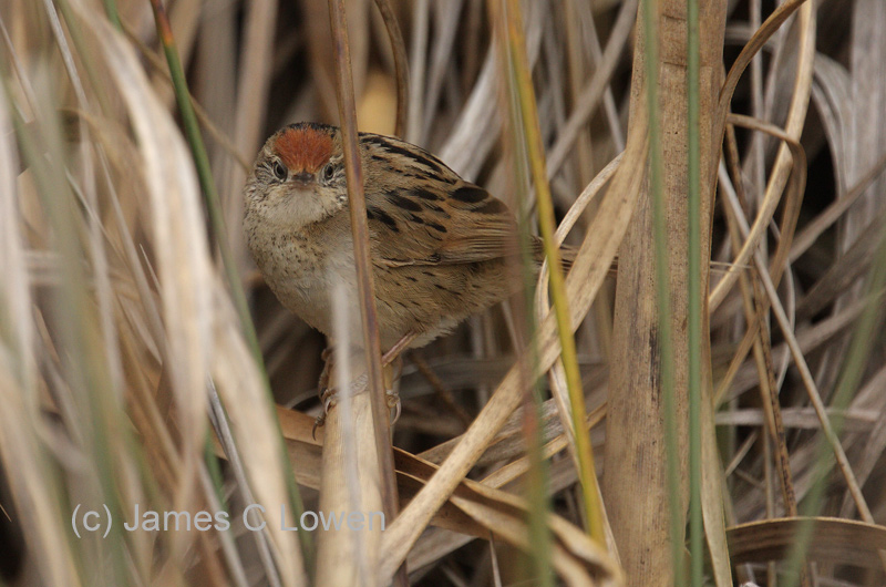 Bay-capped Wren-spinetail