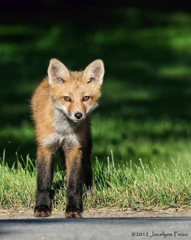 Jeune renard roux / Young Red Fox