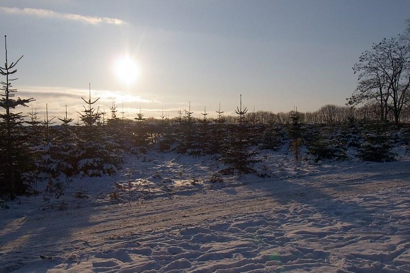 2009-12-19 Christemas trees