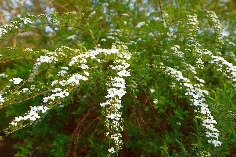 2011-04-26 White flowers