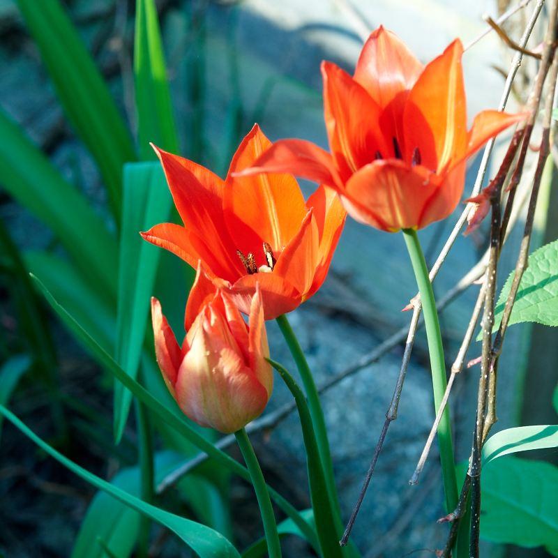 2011-04-27 Tulips