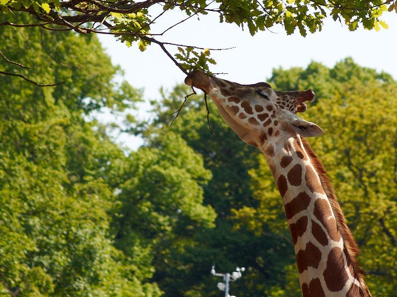 2011-05-20 Giraf eating