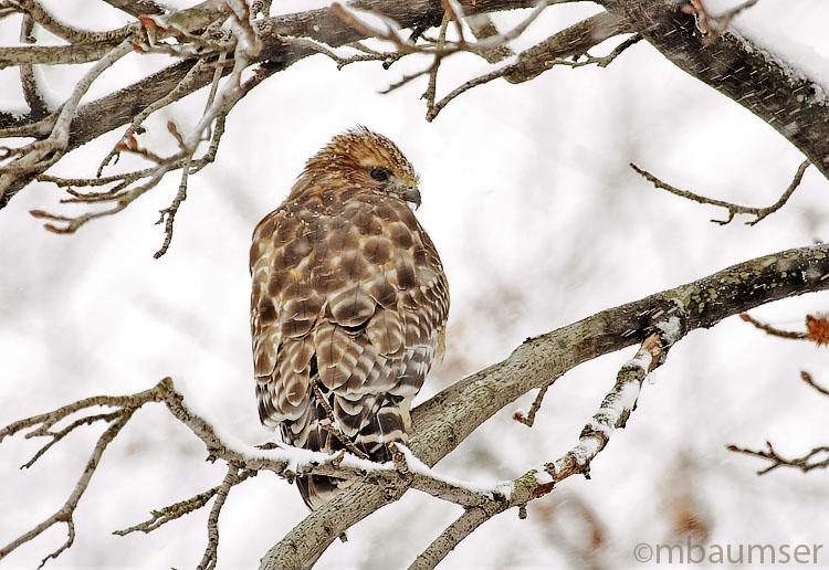 Hawk In My Tree