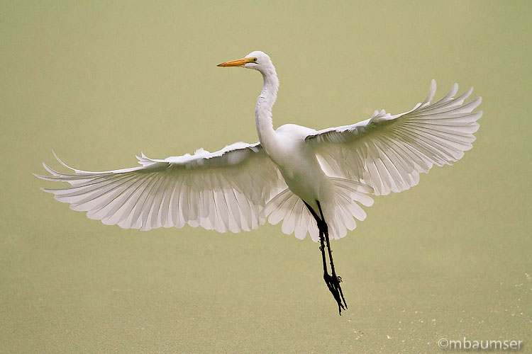 Great White Egret (Landing Gear Down)