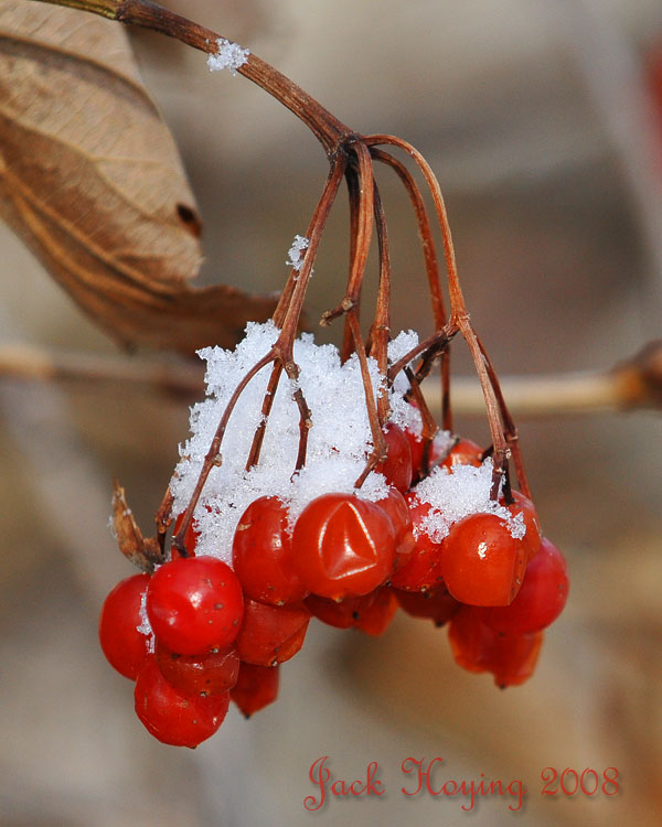 Snow on the Berries