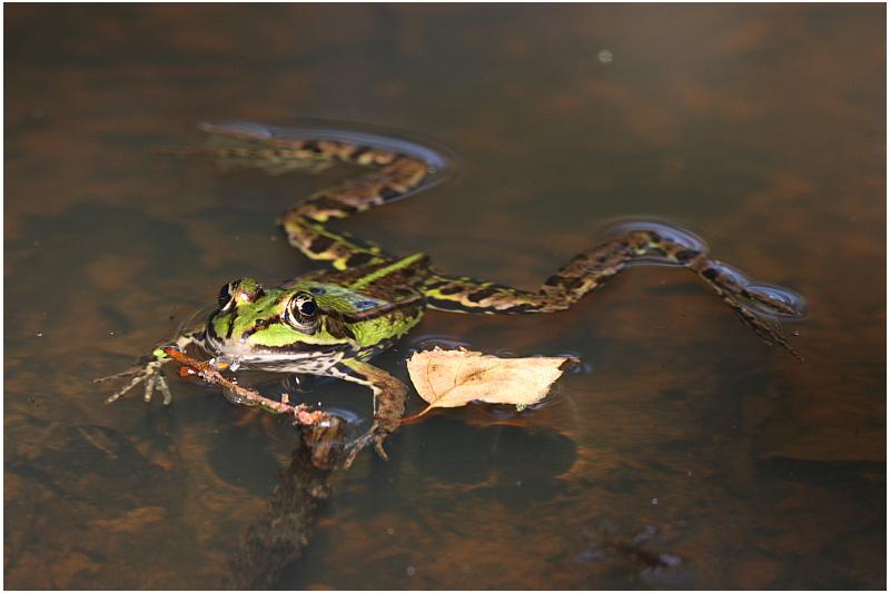 grenouille verte - green frog 1.JPG