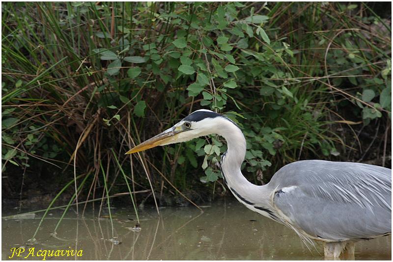 héron cendré - grey heron.jpg