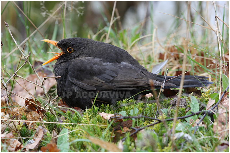 merle noir - blackbird.JPG