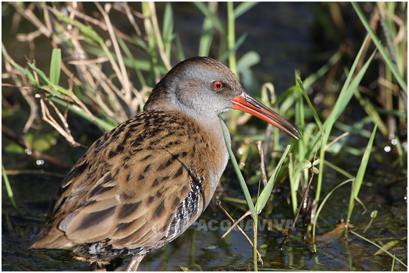 Râle deau - Water rail