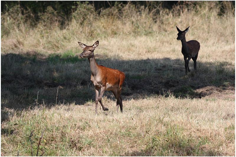 biche - red deer hind
