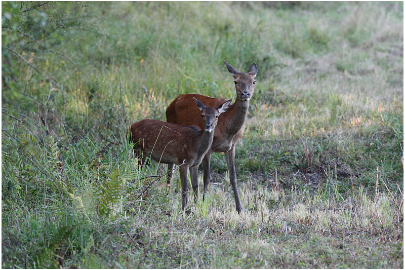biche et faon -  red deer hind and fawn.JPG