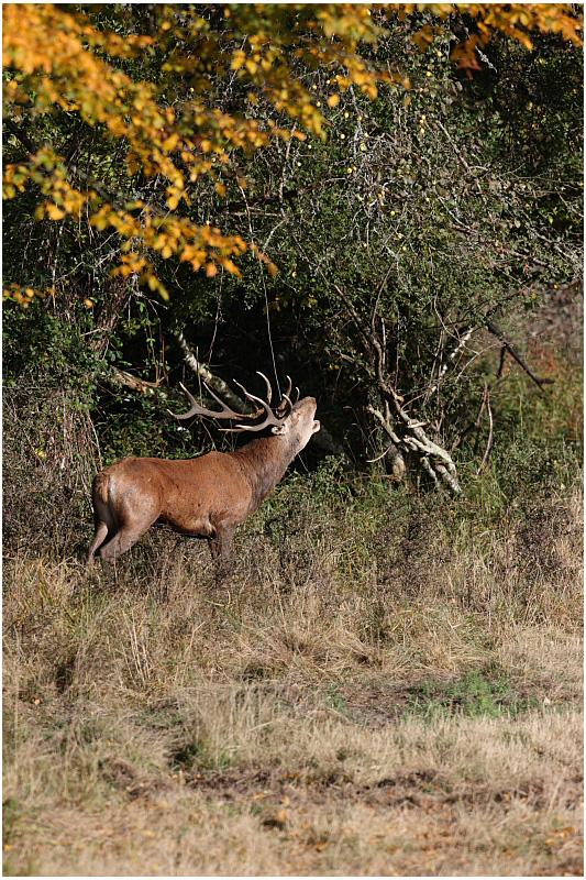 cerf au brame  -  red deer rut