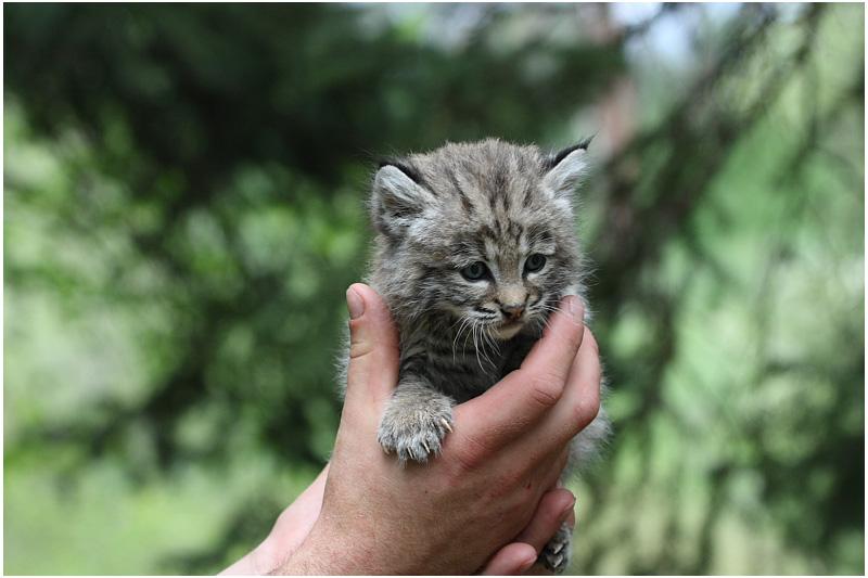 bébé lynx roux  -   baby bobcat.JPG