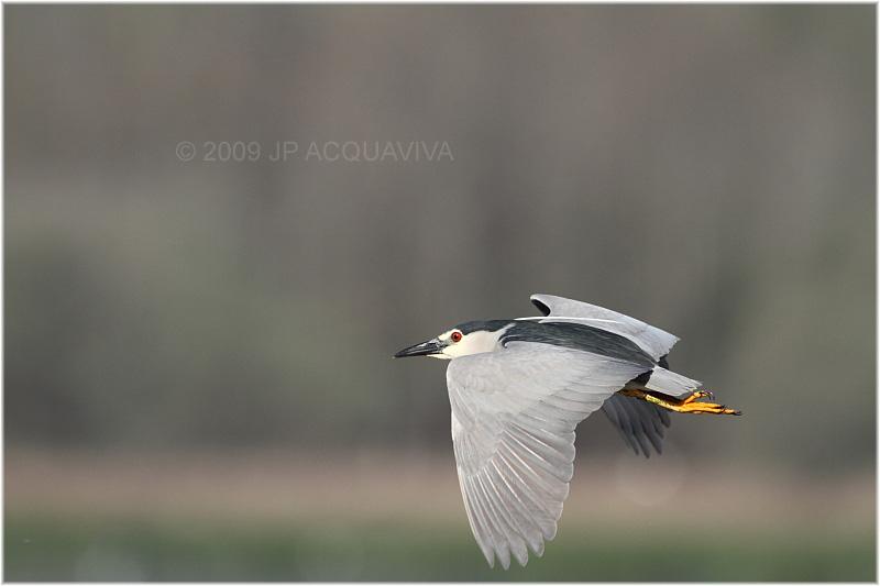 bihoreau gris - black crowned night heron 3.JPG