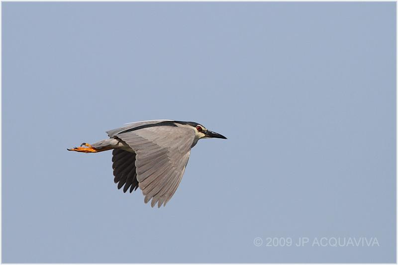 bihoreau gris - black crowned night heron 4.JPG