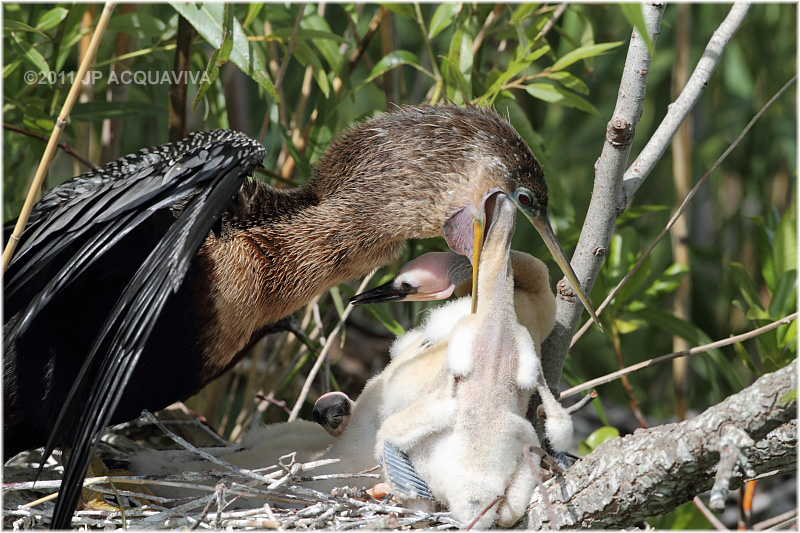 anhinga - mom feeding chicken 2.JPG