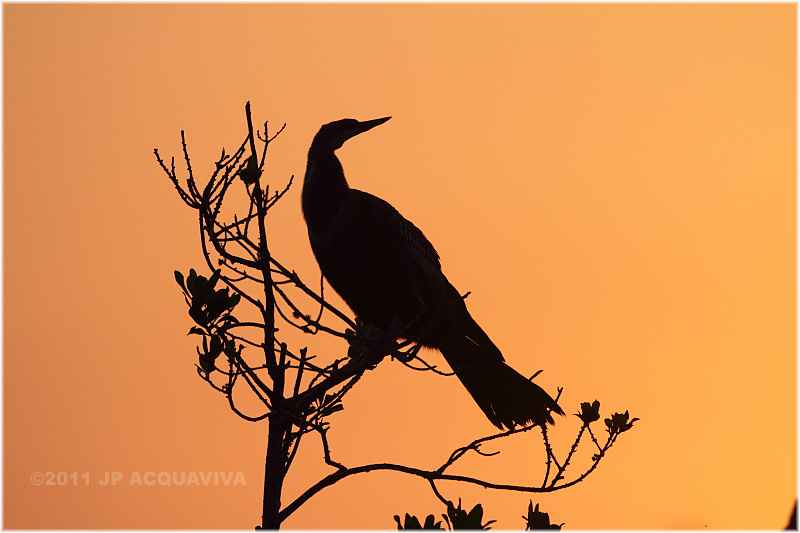 anhinga at dawn.JPG