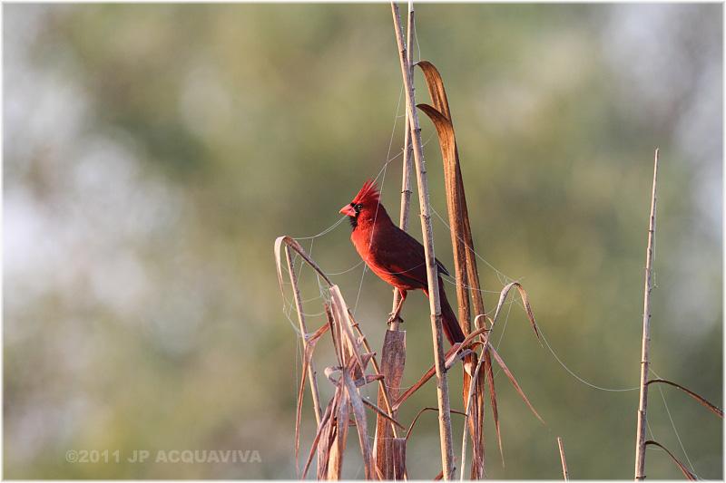 cardinal rouge - northern cardinal male.JPG