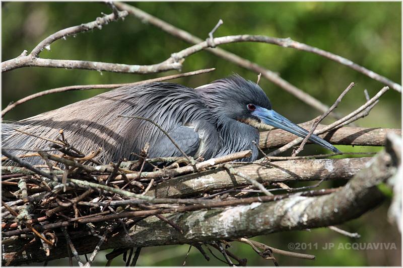 aigrette tricolore - tricolored heron nesting 2.JPG