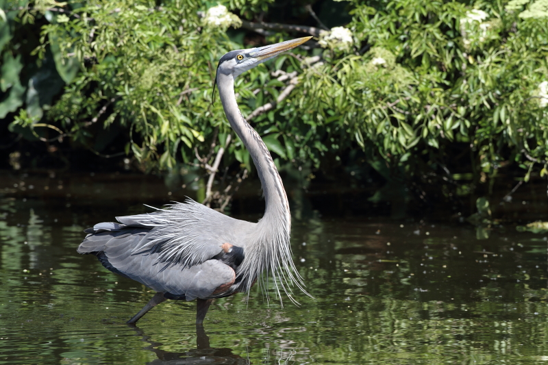 grand héron - great blue heron.JPG