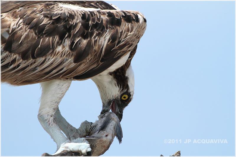 balbuzard - osprey.JPG