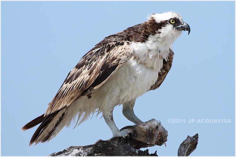 balbuzard - osprey 3.JPG