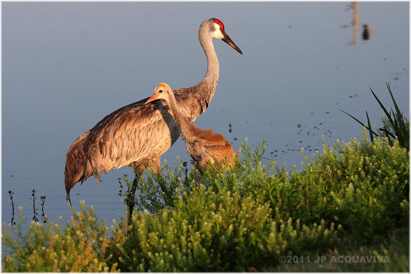 grue du Canada - sandhill crane 3.JPG