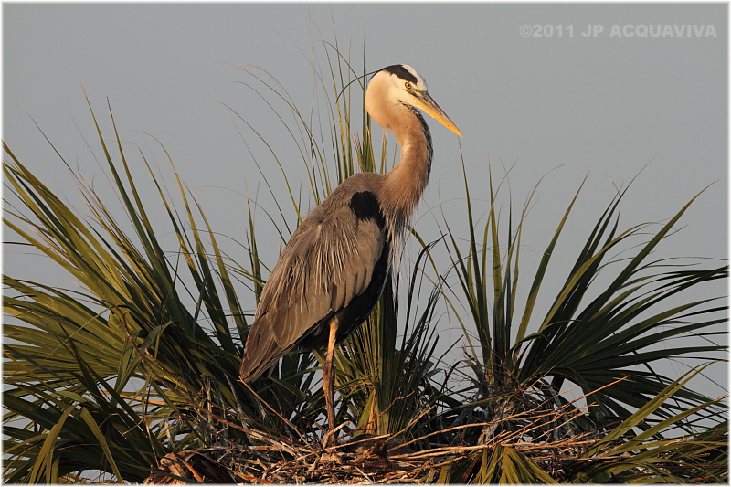 grand héron - great blue heron on nest.JPG