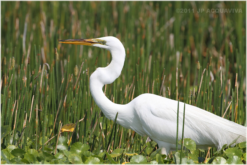 grande aigrette - great egret.JPG