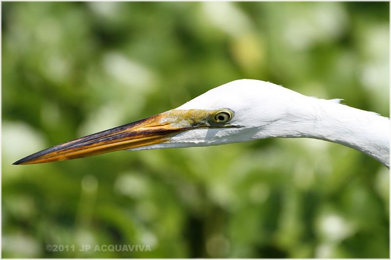 grande aigrette - great egret 3.JPG