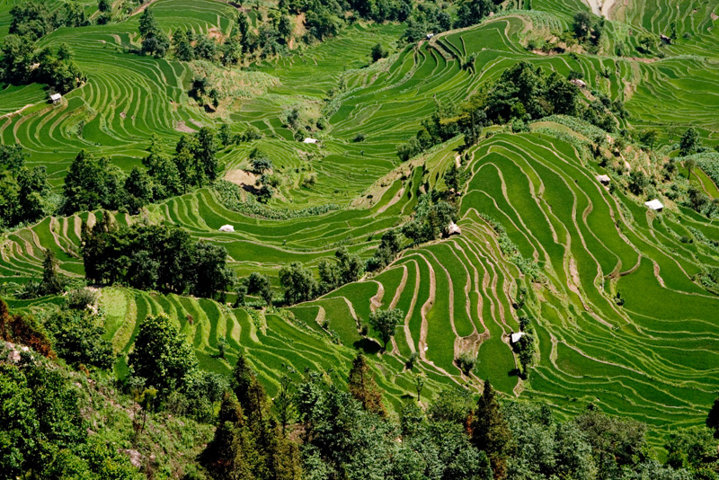 Rice paddy in May