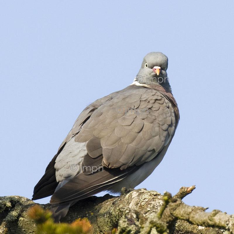 Pigeon ramier - Wood pigeon - Columba palumbus