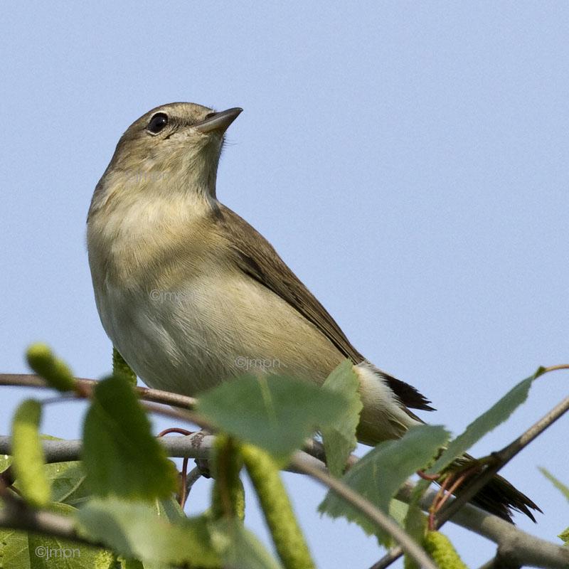 Sylvia borin - Fauvette des jardins - Garden Warbler