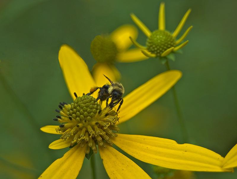 Bumblebee on Wingstem