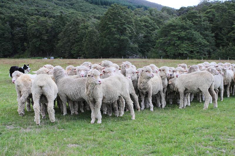 Tess Holding Sheep (8273)