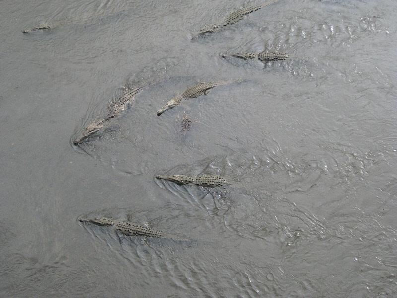Crocodiles in the Rio Grande de Tarcoles (0107P)