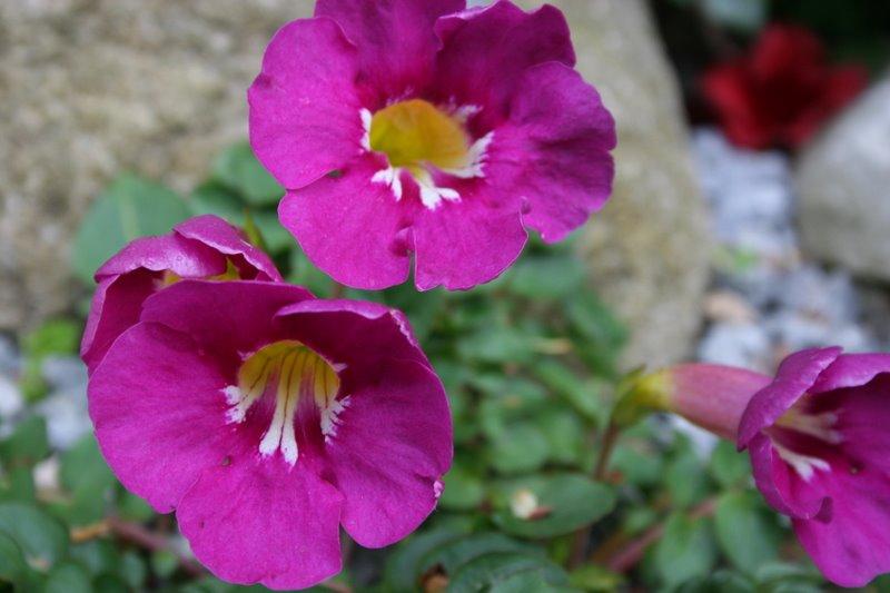 Incarvillea grandiflora