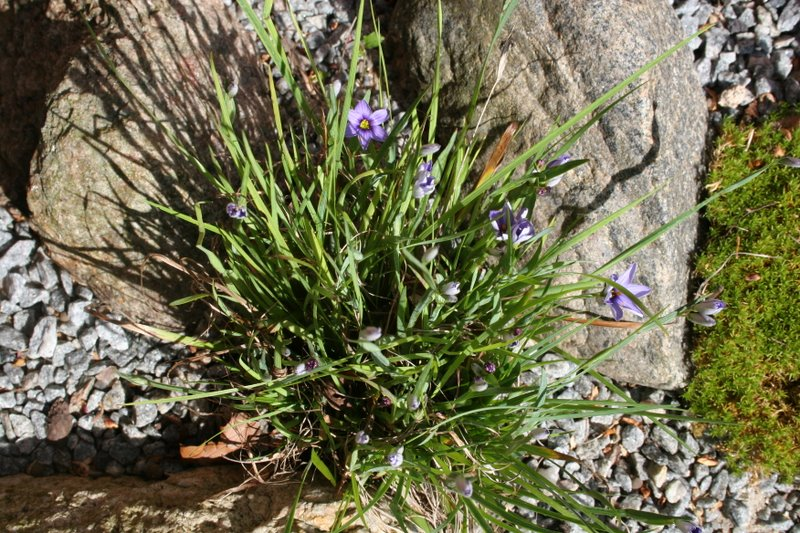 Sisyrinchium angustifolia