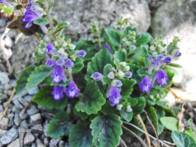Scutellaria violaceae