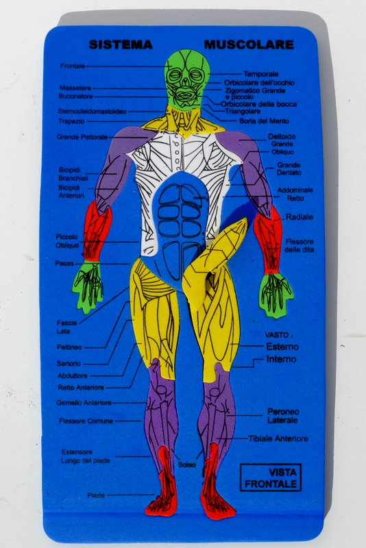 Muscular system of Men - Front view