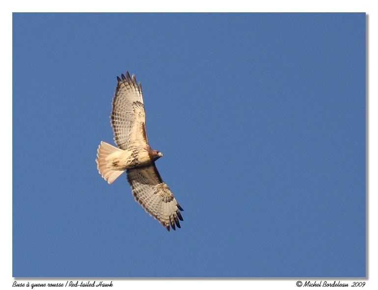 Buse à queue rousse <br/> Red-tailed Hawk