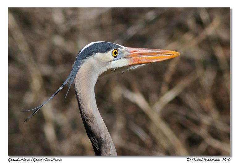 Grand héron <br> Great Blue Heron