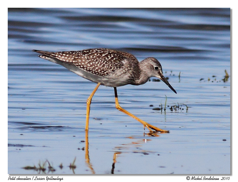 Petit chevalier <br> Lesser Yellowlegs