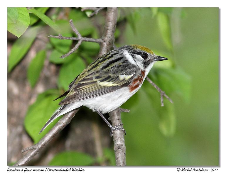 Paruline à flanc marron <br/> Chesnut sided Warbler