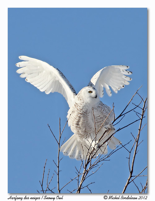 Harfang des neiges<br/>Snowy Owl