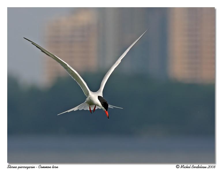 Sterne pierregarin <br> Common tern